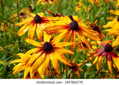 Flowers yellow and orange rudbeckia with raindrops. Wet blooming flowers of yellow and orange rudbeckia (black-eyed susan) flower garden in the summer garden. Soft floral background, selective focus.