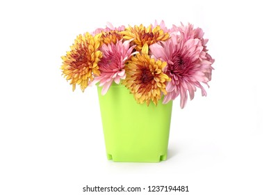 Flowers : Yellow and pink color Chrysanthemum flowers in vivid green plastic pot for home decoration, interior. Fresh flowers, Isolated on white background.