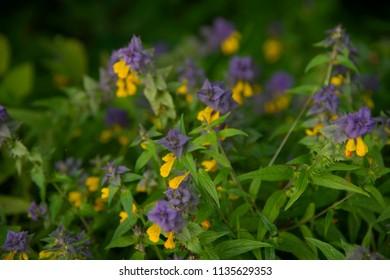 FLOWERS: yellow and purple on dark background