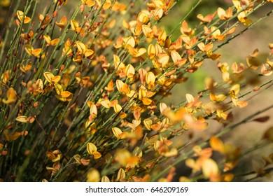Flowers yellow Spartium