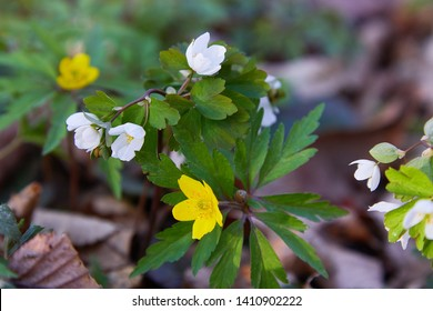 Flowers of yellow uncultivated anemone (Anemona ranuculoides)