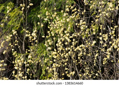 FLOWERS -  yellow willow blossoms on green background