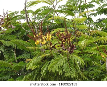 Flowers yellow-flame Ornamental Copperpod, Beautiful  yellow-flamboyant. It also known as many names yellow flametree, yellow poinciana, Peltophorum pterocarpum