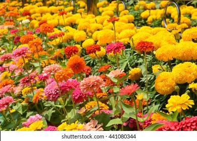 Flowers zinnia, flowers background, Marigold Flowers. Flowers outdoor.