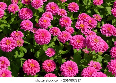 Flowers zinnia elegans (Common zinnia), Flower background, Is a single leaf herbaceous plant with a bouquet of pink as an ornamental plant