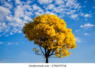 flowery ipe tree with yellow flowers and blue sky