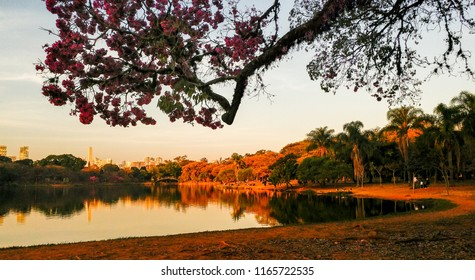 Flowery pink trumpet tree branch above the lake's edge in Ibirapuera Park, Sao Paulo, SP, Brazil. In background, trees reflected in the lake during the golden hour before sunset