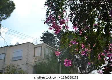Flowery tree and houses in Haifa Ahuza district on Mt. Carmel, close to Carmel center ISRAEL