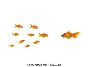flowing goldfish opposite shoal on white background