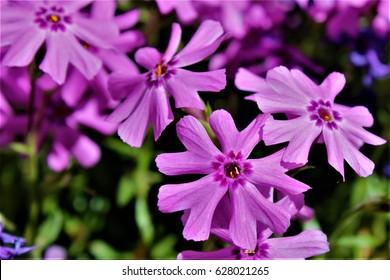Flox flowers