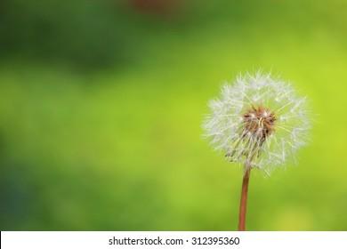 Fluff of dandelions
