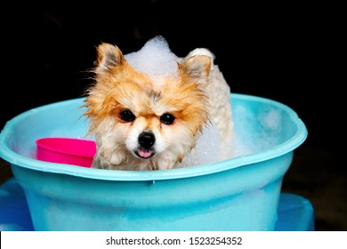 Fluffy adorable Pomeranian dog bathing in blue bathtub refreshing, cleaning pet, close up picture negative background