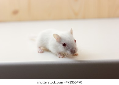 Fluffy baby of gerbil on neutral background