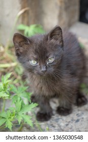 Fluffy black country kitten with pus in the eyes of summer