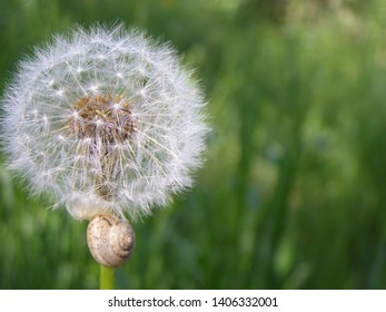 fluffy blowball, green background, nature