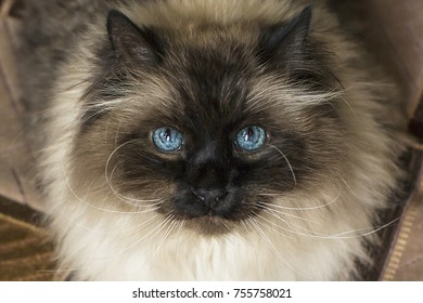A fluffy blue-eyed cat is looking at you.