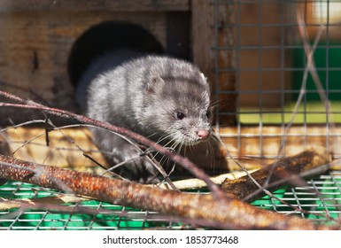 Fluffy blue-gray mink in a cage. Raising animals in captivity (Lat. Mustela lutreola)