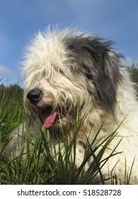 Fluffy bobtail laying on grass