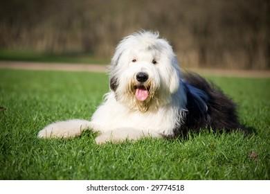 Fluffy bobtail lying on grass