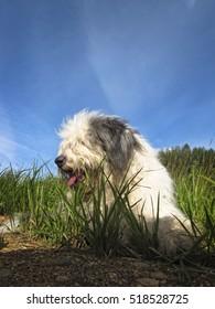 Fluffy bobtail resting on grass