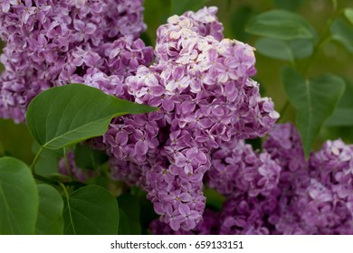 fluffy branch of lilac blossoms