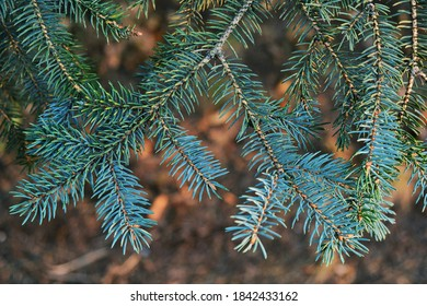 fluffy branches of blue spruce
