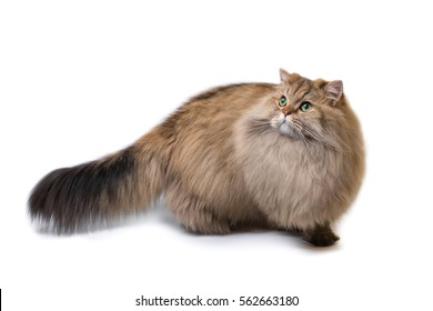 Fluffy British longhair cat, isolated on a white background