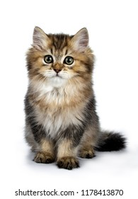 Fluffy British Longhair cat kitten sitting facing front with tail behind body, looking at camera isolated on white background