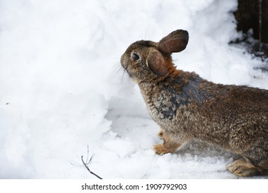 Fluffy brown bunny sitting in snow ,rural life photo