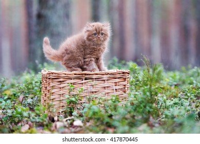 Fluffy brown kitten in the forest