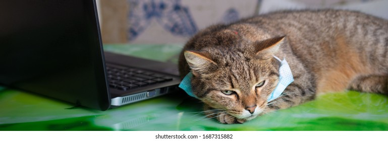 Fluffy brown striped cat in protective mask tired on distance learning at home at a laptop, quarantine, isolation, work from home, learning from home, freelance