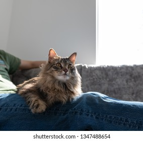 Fluffy Brown Tabby Cat Hanging Out Human Legs in Jeans