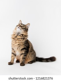 Fluffy Brown Tabby Cat Sitting on White Background Looking Up