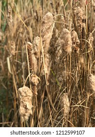 Fluffy Bullrushes at the end of summer. Getting ready for Autumn. Brown and textured. Beautiful. Soft, delicate, and feathery.