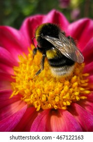 Fluffy bumblebee - busy on a yellow pink flower