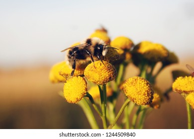 fluffy bumblebee on a yellow flower