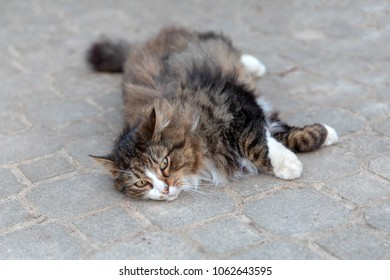 Fluffy cat dragging out on the ground
