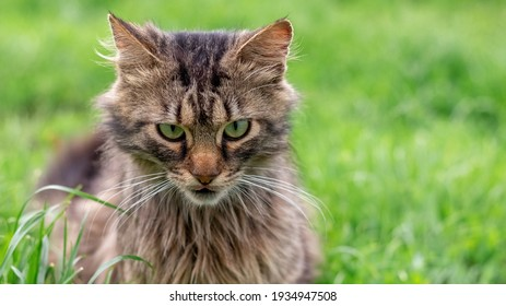 Fluffy cat with an evil look sits on the grass