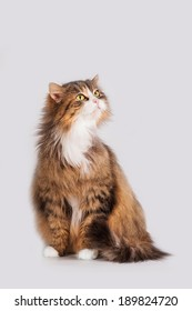 Fluffy cat isolated on white