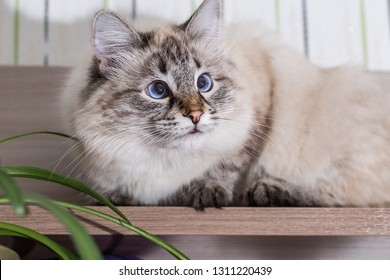 Fluffy cat lies on a wooden table. Portrait of a beautiful  cat closeup