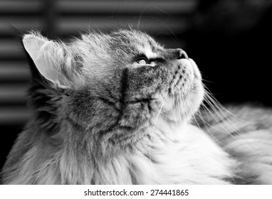 Fluffy cat looks up