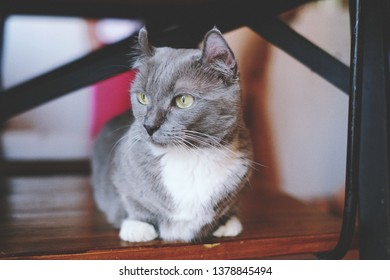The fluffy cat; mixed of British Short Hair and Munchkin, sitting and look around