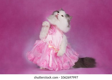 fluffy cat in a pink dress holds a favorite toy
