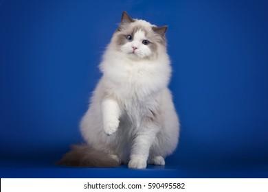 Fluffy cat Ragdoll on a blue background