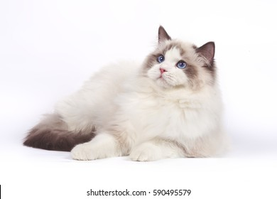Fluffy cat Ragdoll on a white background