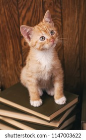 Fluffy Cat sitting on wooden bookshelf. Kitten sitting on books