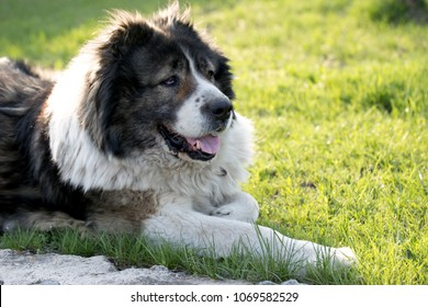Fluffy Caucasian shepherd dog is lying on a green grass. Caucasian Shepherd dog in the yard