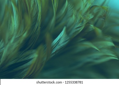 Fluffy of chicken feathers in soft and blur style for background, abstract art