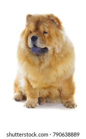 fluffy chow-chow dog isolated over white background
