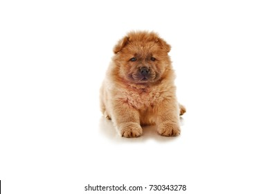 fluffy chow-chow puppy isolated